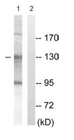 Western blot - AZI1 antibody (ab110018)