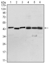 Western blot - Pyruvate dehydrogenase kinase 1 antibody [4A11] (ab110025)