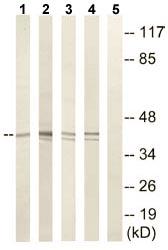 Western blot - NCR1 antibody (ab110057)