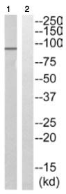 Western blot - PAK5 antibody (ab110069)