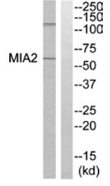 Western blot - MIA2 antibody (ab110072)