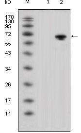 Western blot - Wnt5a antibody [6F2] (ab110073)