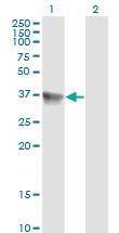 Western blot - Bif antibody [1B3-A5] (ab110091)