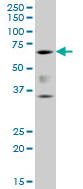 Western blot - RUNX2 antibody [3F5] (ab110102)