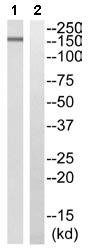 Western blot - ADCY9 antibody (ab110159)