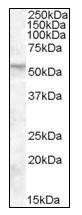 Western blot - FKBP52 antibody (ab110191)