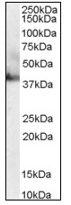 Western blot - RAE1 antibody (ab110192)