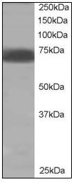 Western blot - SHP2 antibody (ab110194)