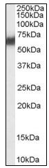 Western blot - PDI antibody (ab110195)