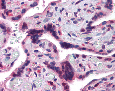 Immunohistochemistry (Formalin/PFA-fixed paraffin-embedded sections) - TRAF2 antibody (ab110198)