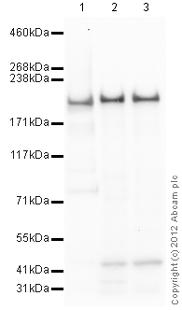 Western blot - Anti-IQGAP1 antibody (ab110203)