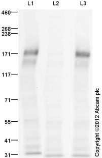 Western blot - Anti-VEGF Receptor 2 (phospho Y951) antibody (ab110213)