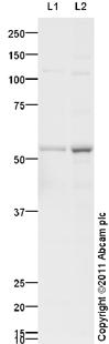 Western blot - Anti-GNAT2 antibody (ab110214)