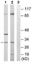 Western blot - Apolipoprotein O like antibody (ab110234)