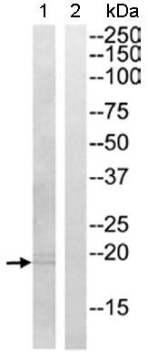 Western blot - GUSBL1 antibody (ab110235)