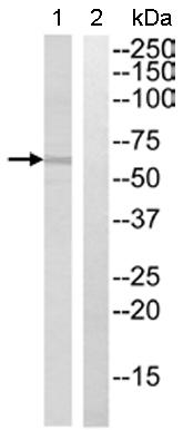 Western blot - BEND4 antibody (ab110236)