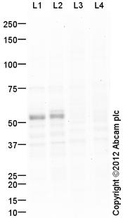 Western blot - Anti-TAZ antibody (ab110239)