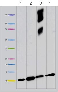 Western blot - COX6A1 antibody [14A3AD2BH4 ] (ab110265)