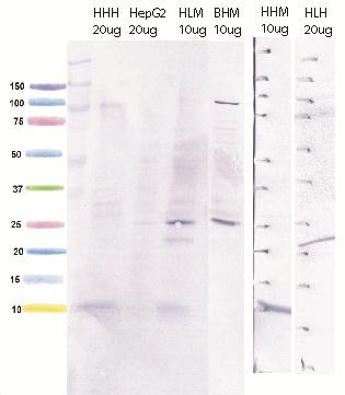 Western blot - Anti-ATP5J antibody (ab110279)