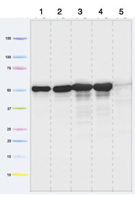 Western blot - ATPB antibody (ab110280)