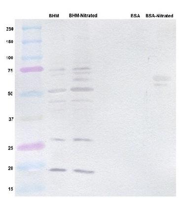 Western blot - Nitrotyrosine antibody [7A12AF6 ] (ab110282)