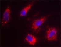 Immunocytochemistry - Anti-Smac / Diablo antibody [8H5AA3] (ab110288)