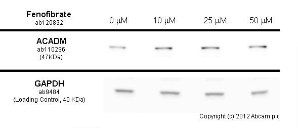 Western blot - Anti-ACADM antibody [3B7BH7] (ab110296)