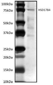 Immunoprecipitation - hydroxysteroid (17-beta) dehydrogenase 4 antibody [8E5AB11] (ab110297)