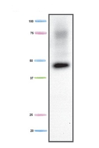 Western blot - Creatine Kinase MM antibody [3E5BA5] (ab110319)
