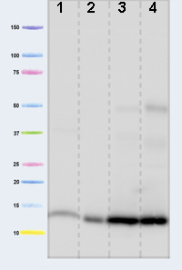 Western blot - Cytochrome C antibody [37BA11] (ab110325)
