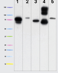 Western blot - Mitofilin antibody [2E4AD5 ] (ab110329)