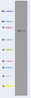 Western blot - Pyruvate Dehydrogenase E2 antibody [15D3G9C11 ] (ab110332)