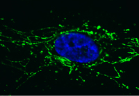 Immunocytochemistry/ Immunofluorescence - Pyruvate Dehydrogenase E2 antibody [15D3G9C11 ] (ab110332)