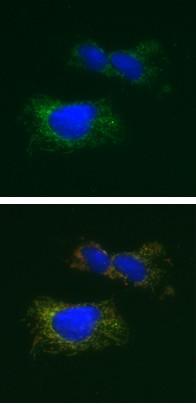 Immunocytochemistry/ Immunofluorescence - Mitochondrial Pyruvate dehydrogenase kinase 1 antibody [2H3AA11] (ab110335)
