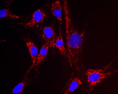 Immunocytochemistry/ Immunofluorescence - Anti-NNT antibody [8B4BB10 ] (ab110352)