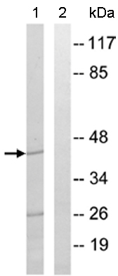 Western blot - MRPS9 antibody (ab110364)