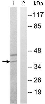 Western blot - KCNK17 antibody (ab110367)
