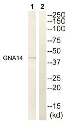 Western blot - GNA14 antibody (ab110370)