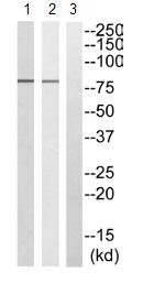 Western blot - NEK5 antibody (ab110380)