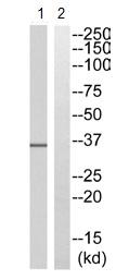 Western blot - TAS2R48 antibody (ab110381)