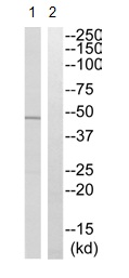 Western blot - KCNK12 antibody (ab110382)