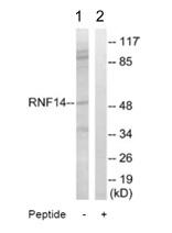 Western blot - RNF14 antibody (ab110395)