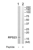 Western blot - RPS23 antibody (ab110399)