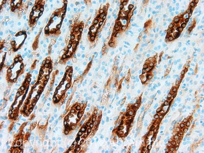 Immunohistochemistry (Formalin/PFA-fixed paraffin-embedded sections) - Anti-Aquaporin 2 (phospho S261) antibody (ab110418)