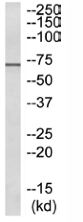 Western blot - RPAP2 antibody (ab110460)