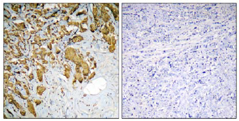 Immunohistochemistry (Formalin/PFA-fixed paraffin-embedded sections) - Pyruvate Dehydrogenase E1-alpha subunit antibody (ab110474)