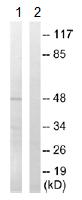 Western blot - SH3GLB2 antibody (ab110475)