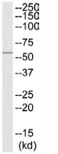 Western blot - Nicotinic Acetylcholine Receptor beta antibody (ab110486)