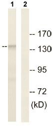 Western blot - SFRS15 antibody (ab110522)