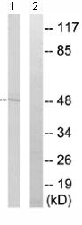 Western blot - PHAX antibody (ab110525)